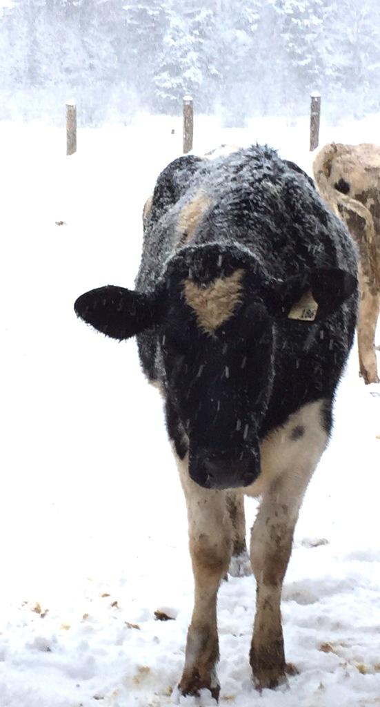 FullSizeRender-4.jpg cow
